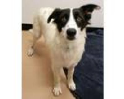 Adopt Eugene a Border Collie, Mixed Breed