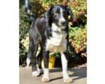 Adopt BASHFUL BUTCH a Black - with White Australian Shepherd / Husky / Mixed dog