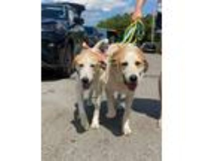 Adopt Molly and Woogee (BONDED PAIR) a Great Pyrenees