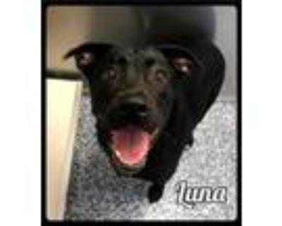 Adopt Luna - 2105143 / 2021 a Labrador Retriever