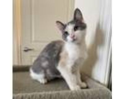 Adopt Dakota a Calico or Dilute Calico Domestic Shorthair / Mixed cat in Culver