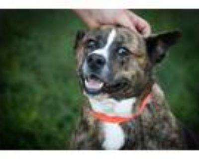 Adopt MAX a Australian Cattle Dog / Blue Heeler