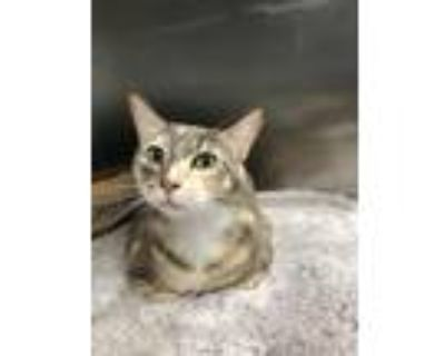 Adopt Calli a Domestic Shorthair / Mixed (short coat) cat in Fort Myers