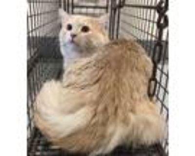 Adopt 47970576 a Tan or Fawn Domestic Longhair / Domestic Shorthair / Mixed cat