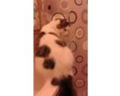 Adopt Natrick a White (Mostly) Domestic Longhair / Mixed (long coat) cat in