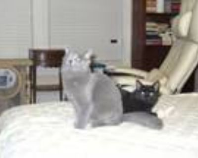 Adopt Shirley a Gray or Blue Maine Coon / Mixed (medium coat) cat in Houston