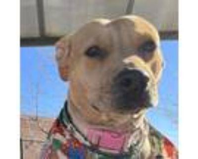 Adopt Natalie a Labrador Retriever