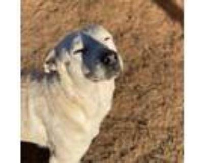 Adopt Dingo a Australian Cattle Dog / Blue Heeler, Labrador Retriever