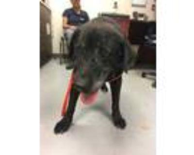 Adopt 48244222 a Black Labrador Retriever / Mixed dog in Los Lunas