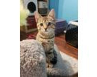 Adopt Bambi a Gray or Blue Domestic Shorthair / Domestic Shorthair / Mixed cat