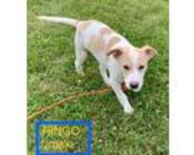 Adopt Ringo a German Shepherd Dog, Labrador Retriever
