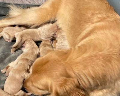 Golden Retriever Puppies (Limited Registration)