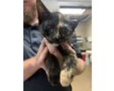 Adopt Jayme* a All Black Domestic Shorthair / Domestic Shorthair / Mixed cat in