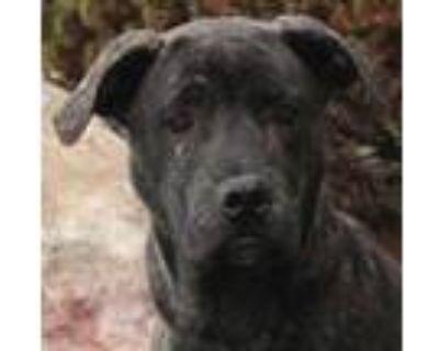 Adopt Basia a Labrador Retriever, Mastiff