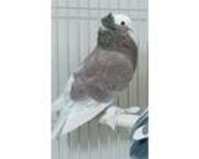 Eudoxus Of Cnidus, Pigeon For Adoption In Elizabeth, Colorado