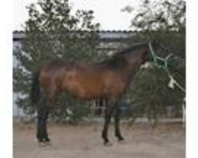 Bay ANCCE registered Andalusian Filly