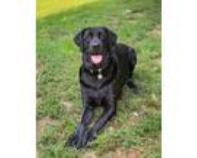 Adopt Percy a Labrador Retriever