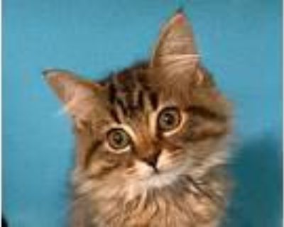 Chaconne, Domestic Longhair For Adoption In Manitou Springs, Colorado