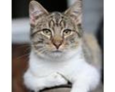 Adopt Golden Graham a Brown or Chocolate Domestic Shorthair / Mixed cat in