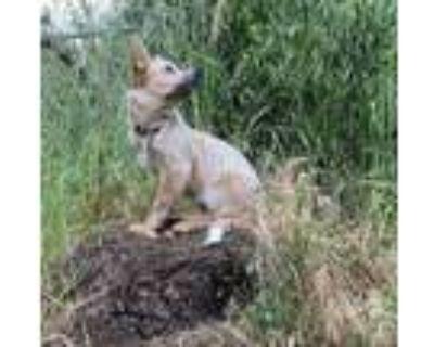 Adopt Freya a Red/Golden/Orange/Chestnut - with White Australian Cattle Dog /
