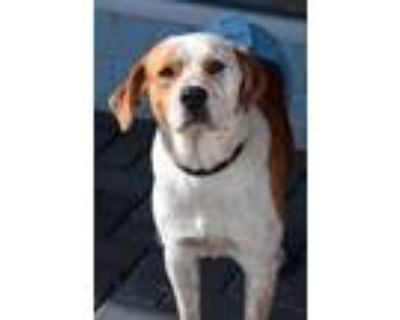 Adopt Holden a White - with Tan, Yellow or Fawn Pointer / Hound (Unknown Type) /