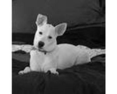 Adopt Snow a Parson Russell Terrier