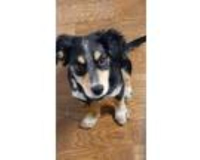 Adopt Bruce Buddy Banner a Black - with Tan, Yellow or Fawn Border Collie /