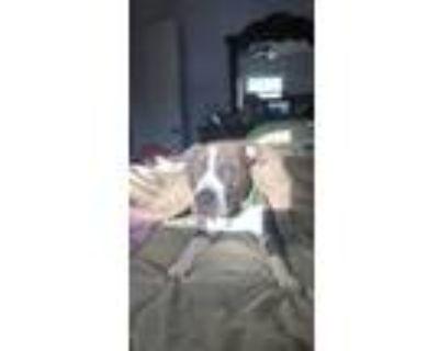 Adopt King a Gray/Blue/Silver/Salt & Pepper American Pit Bull Terrier / Mixed