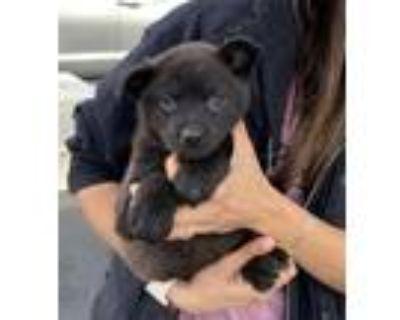 Adopt TOPEKA a Labrador Retriever / Mixed dog in Rockville, MD (30372202)
