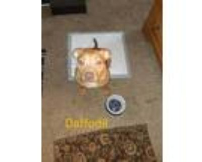 Adopt Daffodil a Red/Golden/Orange/Chestnut Pit Bull Terrier / Mixed dog in
