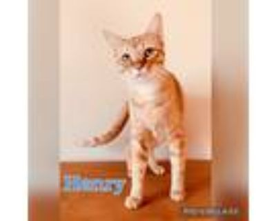 Adopt Henry a Orange or Red Tabby Domestic Shorthair (short coat) cat in