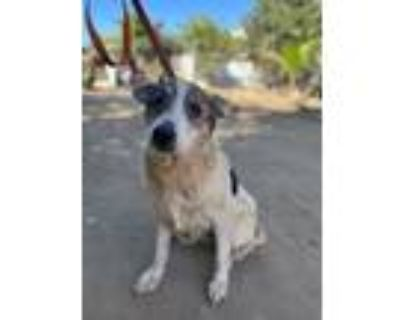 Adopt Frances a White - with Black Cattle Dog / Blue Heeler / Mixed dog in Lake