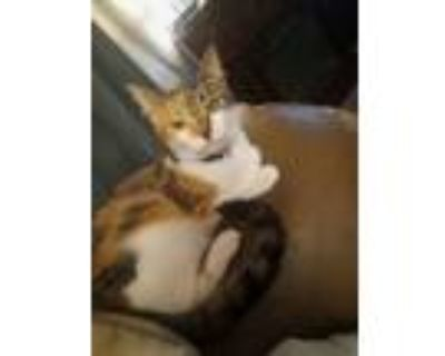 Adopt Missy a White (Mostly) American Shorthair / Mixed (medium coat) cat in