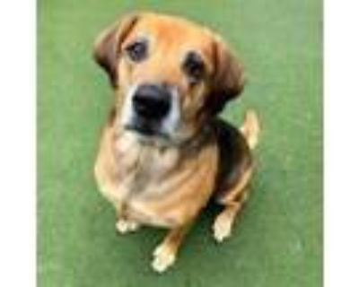 Adopt Bubbles a Hound, Mixed Breed