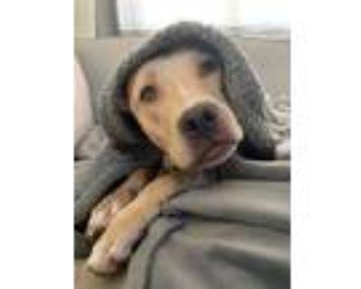 Adopt Melyn aka Jovie a Tan/Yellow/Fawn - with White Labrador Retriever / Mixed