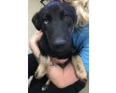 Adopt Arlo a Siberian Husky / Labrador Retriever / Mixed dog in Birdsboro