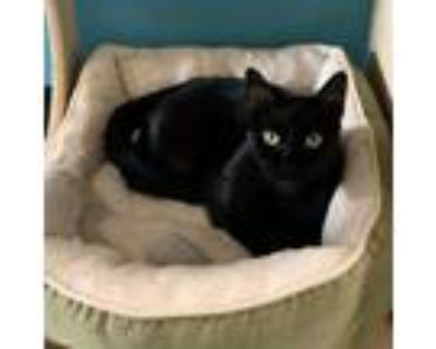 Adopt Nathan a All Black Domestic Shorthair / Mixed cat in Los Angeles