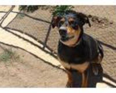 Bailey, Labrador Retriever For Adoption In Peyton, Colorado