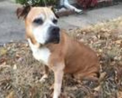 Adopt Alli a Boxer / Mixed dog in Little Rock, AR (27510340)