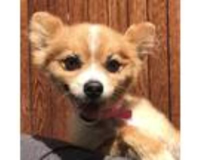 Adopt FOXY GOLD a Red/Golden/Orange/Chestnut Mixed Breed (Medium) / Mixed dog in