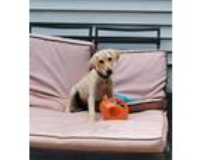 Adopt JukeBox a Tan/Yellow/Fawn Labrador Retriever / Mixed dog in Oakland
