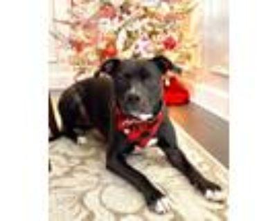 Adopt Darla a Black - with White American Staffordshire Terrier / Retriever