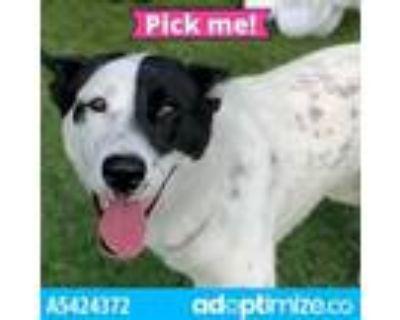 Adopt AQUA a Australian Cattle Dog / Blue Heeler, Mixed Breed