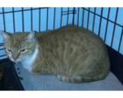 Adopt Sunflower a Orange or Red (Mostly) Domestic Shorthair (short coat) cat in