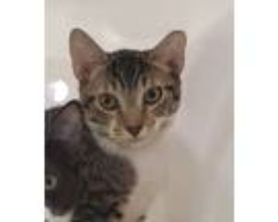 Adopt Pen a Domestic Shorthair / Mixed cat in Houston, TX (32063456)
