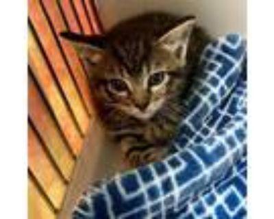 Adopt Dodo a Domestic Short Hair