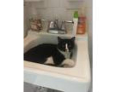 Adopt Lady Meow Meow (Has Application) a Domestic Shorthair / Mixed cat in