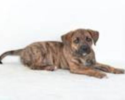 Adopt A591453 a Catahoula Leopard Dog, Mixed Breed