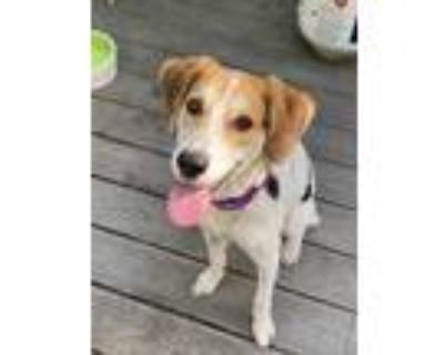 Adopt Penelope a Tricolor (Tan/Brown & Black & White) Hound (Unknown Type) /