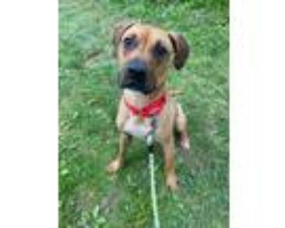 Adopt Sylvester a Brown/Chocolate Boxer / Labrador Retriever / Mixed dog in West